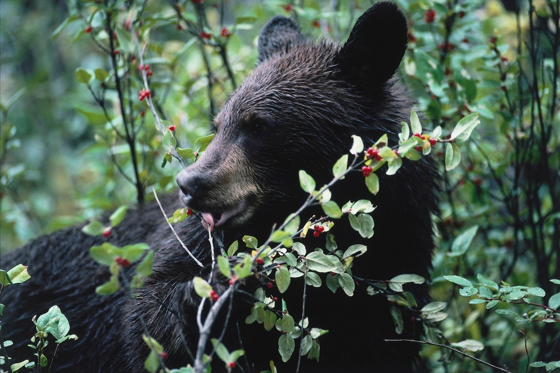 bear producer consumer trophic level