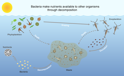 bacteria decomposition ocean